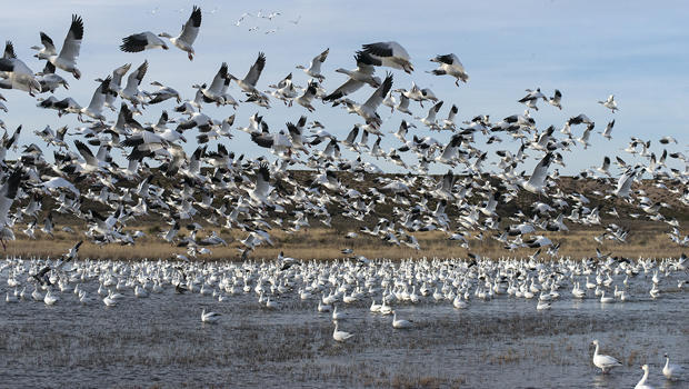 जलवायु परिवर्तन के कारण पक्षी प्रवास में वृद्धि